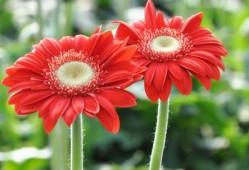 非洲菊如何繁殖(分株、播种、扦插)