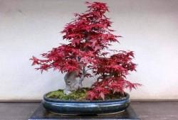 红枫盆景的制作方法