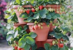 家庭盆栽草莓如何种植?