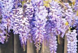 紫藤光长枝不开花怎么办?
