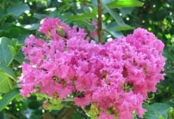 紫薇花的种植需要注意什么