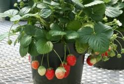草莓产量一年比一年低,这几点做对,实现草莓园的梦想近在眼前!