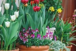 盆栽球根花卉如何打造开花不断的花境?