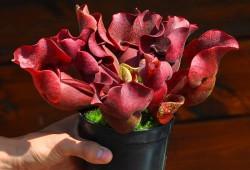 食虫植物图片