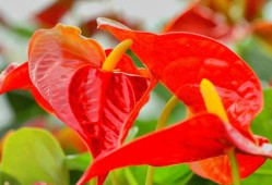 红掌叶子发黄焦边干枯是怎么回事?