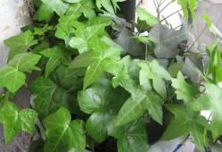 常春藤叶子发黄是什么原因?