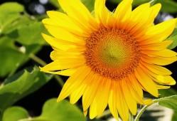 向日葵的花语是什么