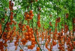 番茄什么时候种植?番茄的种植时间