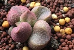 多肉植物水蜜桃水泡图片
