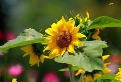 盆栽向日葵如何种植?
