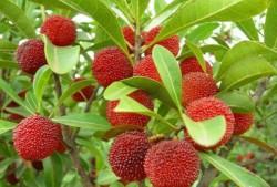 杨梅树北方可以种植吗?