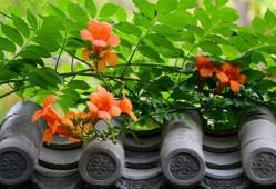 凌霄花的养殖方法和注意事项