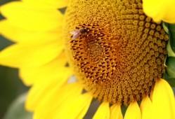 向日葵的花语