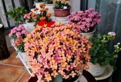 怎么让长寿花多开花?长寿花开花爆盆的方法