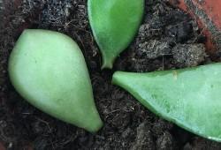 玉树叶插繁殖方法