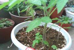 阳台番茄怎么种