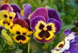 三色堇的花语是什么?三色堇的传说