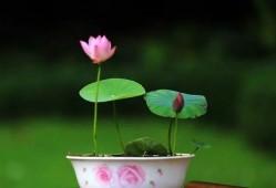 碗莲这样养,保准年年都可以开花!