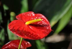 红掌开花季节与时间