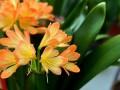 君子兰叶片长斑、黄叶是什么原因?怎样处理?