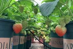 教你盆栽草莓如何种植?盆栽草莓苗种植教程