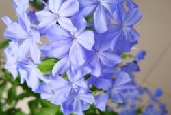 蓝雪花图片