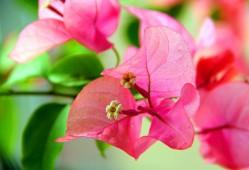 三角梅的花语和传说
