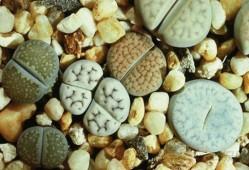 生石花脱皮期可以浇水吗