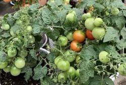 阳台种植小番茄爆果技巧