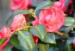 怎么养好山茶花?教你养出花繁叶茂的山茶花