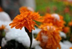 万寿菊的花语