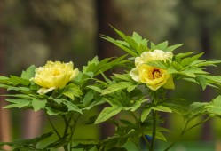 牡丹芍药裸根苗种植要点
