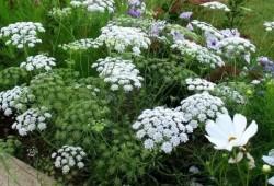 秋播春开,这几种耐寒多年生花卉现在种正合适!