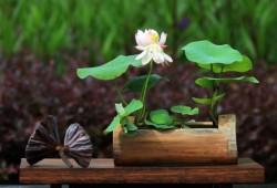 夏季这样养碗莲!手把手教你如何种植碗莲