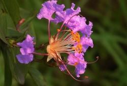 紫薇花怎么养?紫薇花的养殖方法