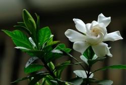 栀子花的花语和传说