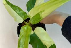蔓绿绒扦插繁殖方法