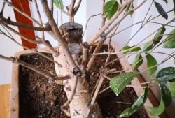 室内桂花盆景应该怎么养护?