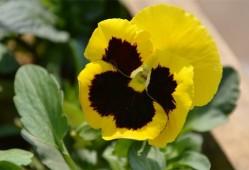 黄色三色堇的花语是什么