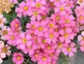 酢浆草的种植方法和注意事项