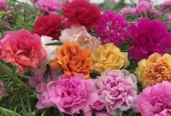 太阳花适合用深盆还是浅盆种植?