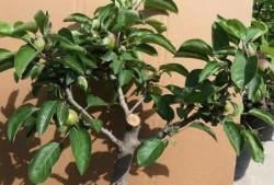 夏季盆栽果树嫁接方法