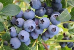 家庭盆栽蓝莓的养护