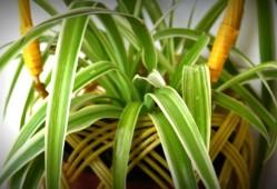 吊兰的养殖方法及注意事项(附虫害防治)