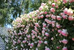 粉色藤本月季品种有哪些?