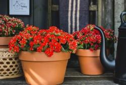 长寿花如何才能持续开花呢?