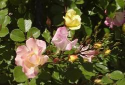 灌木月季——仙境(Wonderland)