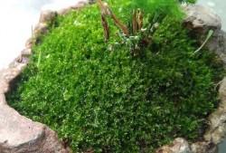 苔藓怎么养才茂盛