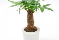 发财树多久浇一次水?