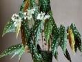 鳟鱼秋海棠怎么养?鳟鱼秋海棠的养护方法
